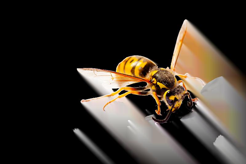 Alles over wespen, van bestrijden tot voorkomen