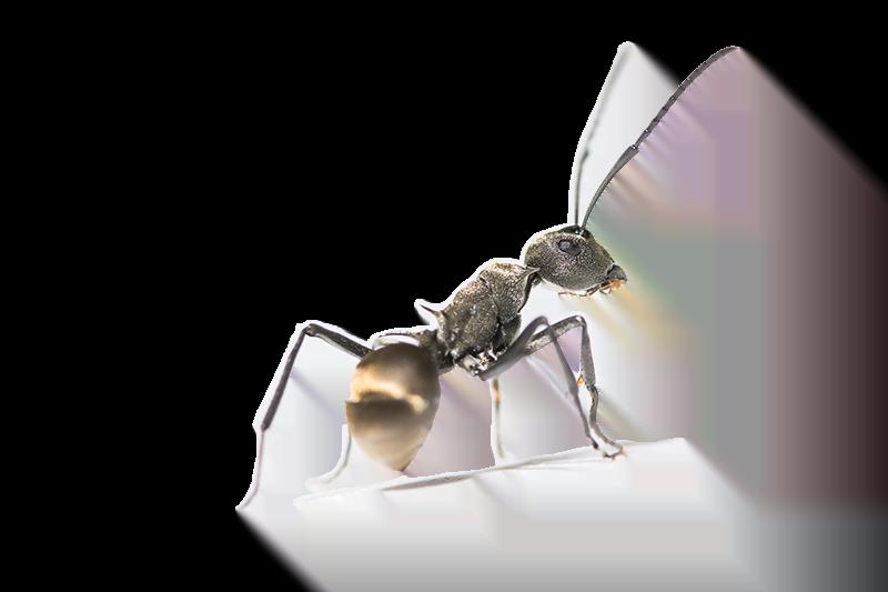 Mieren plaag bestrijden in huis, de tuin en keuken