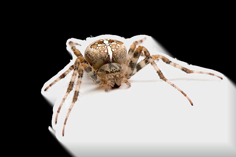 Spinnen bestrijden het huis en buiten met azijn