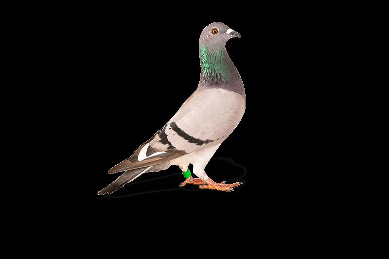duiven-verjagen-met-behulp-van-duivenpinnen
