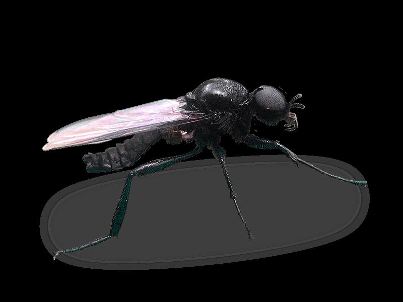 rouwvliegje-herkennen-en-bestrijden