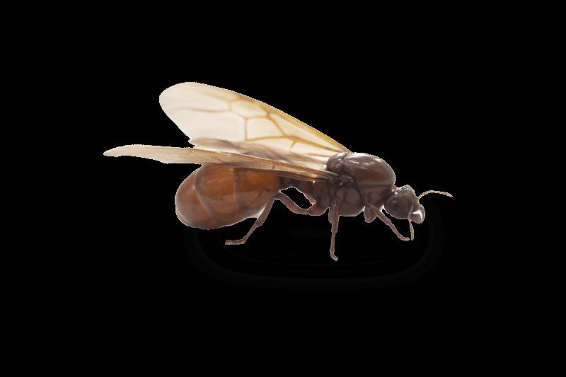 vliegende-mieren-bestrijden-in-huis
